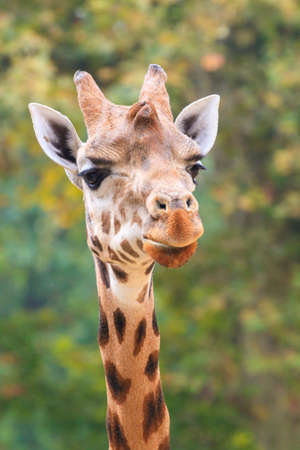Funny close up of the head of a northern Giraffe (Giraffa camelopardalis)
