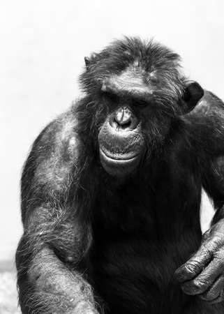 Beautiful portrait of the common chimpanzee (Pan troglodytes), aka the robust chimpanzee, a species of great ape in black and white
