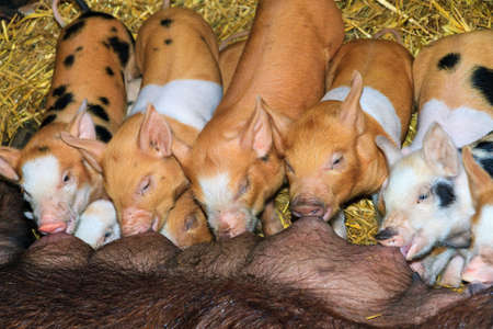 A group of hungry new born piglets drinking milk from their mother in a childrens farm in the Netherlands Stock Photo