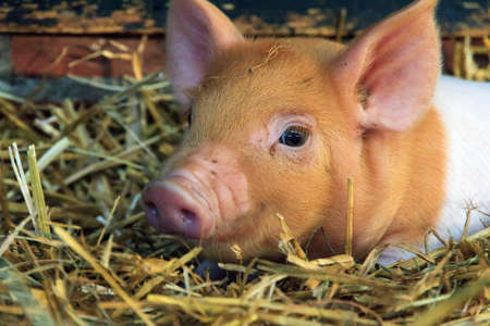 Molto sveglio maialino piggy appena nato (sus scrofa) in uno zoo dei petting nei Paesi Bassi Archivio Fotografico