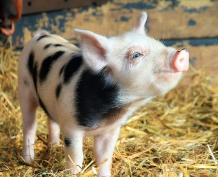 Very cute little newborn piggy pig (sus scrofa) in a petting zoo in the Netherlands Stock Photo - 78447870