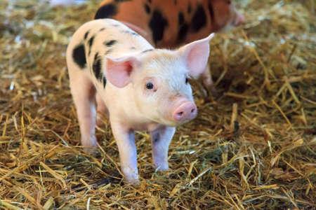Sehr nettes kleines neugeborenes piggy Schwein (Sus scrofa) in einem Streichelzoo in den Niederlanden Standard-Bild
