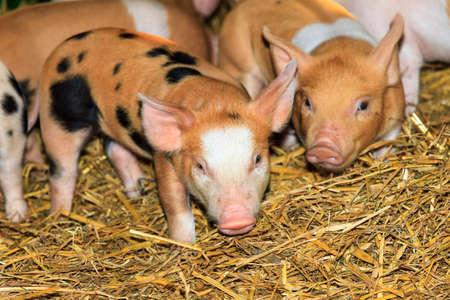 Very cute little newborn piggy pigs (sus scrofa) in a petting zoo in the Netherlands