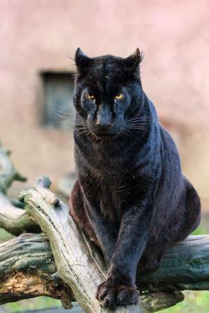 Beautiful black panther (African leopard (Panthera pardus pardus)) in captivity Stock Photo