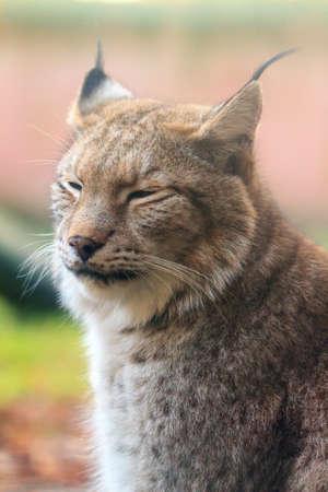 Beautiful close up soft portrait of a Eurasian lynx (Lynx lynx)