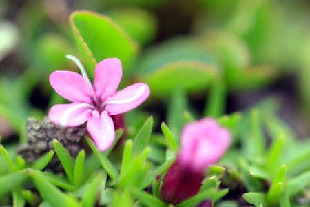 Beautiful small pink flower moss campion silene acaulis aka beautiful small pink flower moss campion silene acaulis aka cushion pink a mountain mightylinksfo