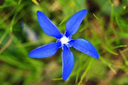 The conspicuous vivid blue Gentiana verna, the spring gentian, growing in the alpine meadows in the mountains of the Swiss alps Stock Photo