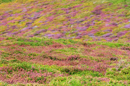 Beautiful close up of the vibrant violet heather flowers (Calluna vulgaris) and yellow common gorse (Ulex europaeus) of the moorland on the cliffs at Cap Fréhel in Brittany, France Stock Photo