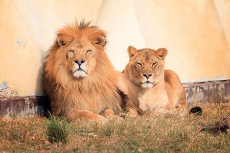 Mooie close-up van de leeuw (Panthera leo), een soort uit de kattenfamilie (Felidae), in de middagzon Stockfoto - 106372472