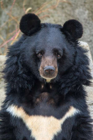 Beautiful portrait of The Asian black bear (Ursus thibetanus) with round ears and white chest patch in the shape of a V Stock Photo