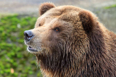 Beautiful close up portrait of the mainland grizzly bear (Ursus arctos horribilis)