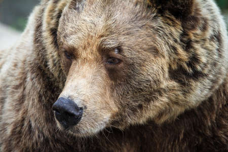 Beautiful close up portrait of the Eurasian brown bear (Ursus arctos arctos), one of the most common subspecies of the brown bear Stock Photo