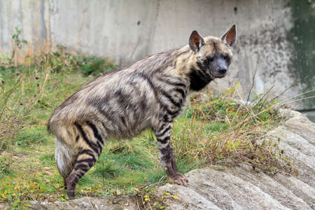 Beautiful side view portrait of the striped hyena (Hyaena hyaena)