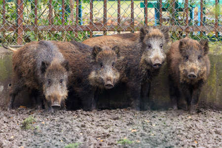 Group of young Wild boar (Sus scrofa), also known as the wild swine or Eurasian wild pig Stock Photo