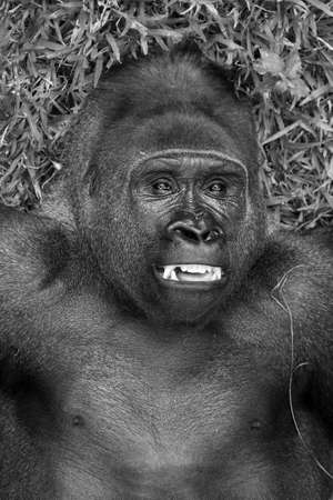 Beautiful close up of a big alpha male silverback western lowland gorilla playing in a field in black and white