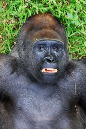 Beautiful close up of a big alpha male silverback western lowland gorilla playing in a field