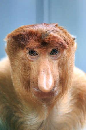 Beau portrait en gros plan du singe proboscis (Nasalis larvatus) ou du singe à long nez aka le bekantan en Indonésie