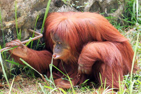 Beautiful image of a cute orange Bornean Orangutan (Pongo pygmaeus) with a nut in her mouth which she found on the ground
