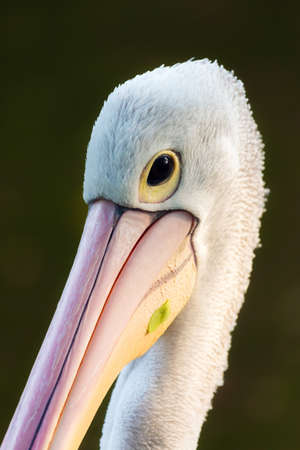 The great white pelican aka the eastern white pelican, rosy pelican or white pelican