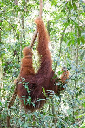 Beautiful male Sumatran Orangutan (Pongo abelii) during an ecotourism jungle hike in Gunung Leuser National Park, Bukit Lawang, Sumatra, Indonesia