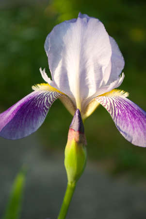 beautiful purple iris flower, close up picture Stock Photo