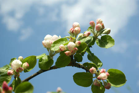 spring time, branch of apple tree over blue sky