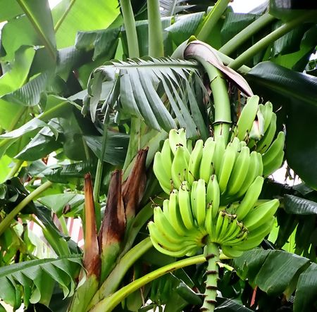 banane: Banana Tree  Banque d'images