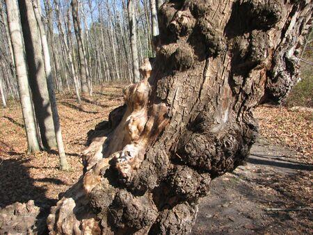 knobby: Knobby Tree Stock Photo