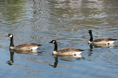 Three Geese Swimming Stock Photo - 2056112