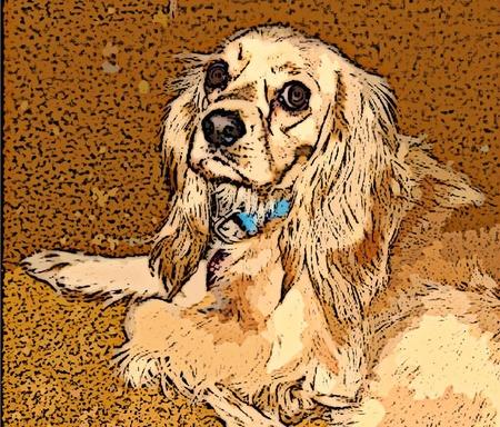 cocker: Cocker Spaniel-Hund