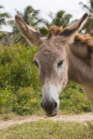 Headshot of a sad donkey