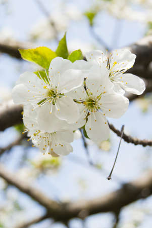 Beautiful white cherry tree blossom close-up