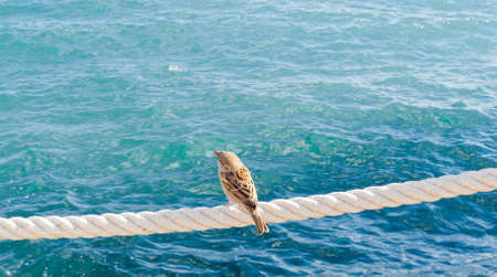 rote: Lonely sparrow sitting on rote near sea and  looking far