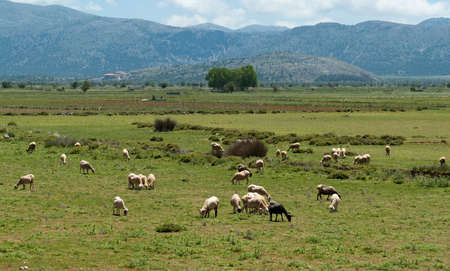 Flock of sheep on beautiful mountain meadow. Lasithi Plateau. Crete. Greece Stock Photo