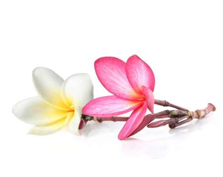 Two frangipani flowers isolated on white background Stock Photo - 13450617