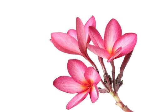 frangipani flowers isolated on the background white Stock Photo - 15506872