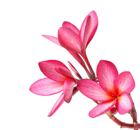 flores exoticas: flores frangipani aislado en el fondo blanco