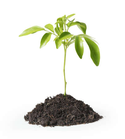 clod: green plant on a white background ,isolated