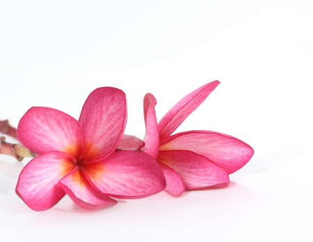 frangipani flowers isolated on the background white  Stock Photo - 15678241