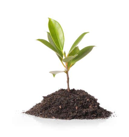 tige: Jeune plante verte sur fond blanc Banque d'images