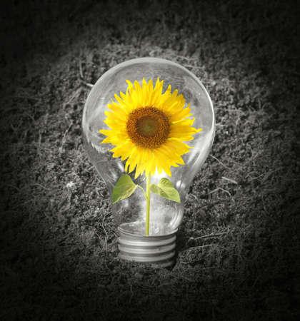 Sunflower with inside Light Bulb photo