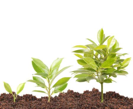 crecimiento planta: Brote verde que crece de una
