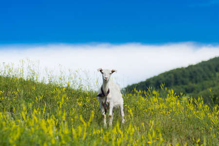 Goatling standing in a field. 스톡 콘텐츠