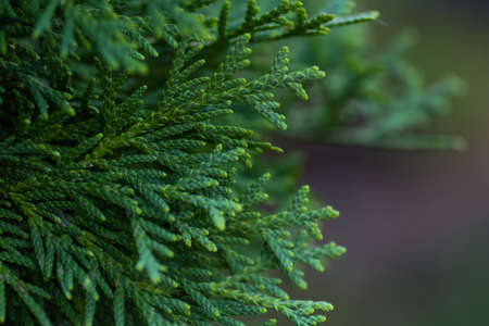 Green thuja close up - during the summer period.