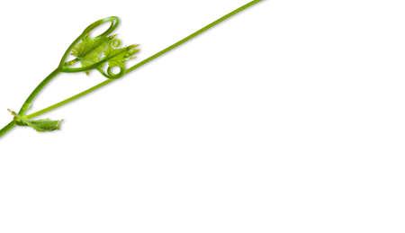 conner: The little gourd leaf conner