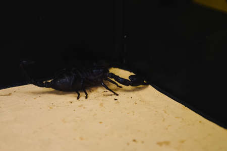 Scorpion with a leech in the terrarium. Black scorpion is a poisonous arthropod and bloodsucking leech.