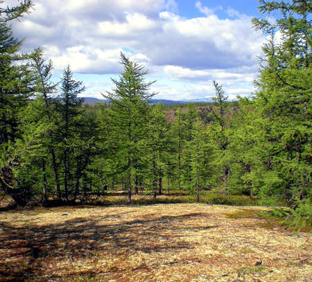 Taiga in the Russian north. Coniferous forest in early September in the north.