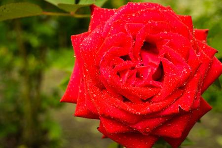kropla deszczu: red rose in the dew