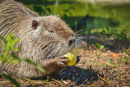 eating fruits: Muskrat eating an apple on the lake
