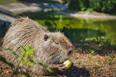 muskrat: Muskrat eating an apple on the lake
